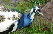 picture of indian blue  - The beautiful Indian Blue Pied Male Peacock - JPG