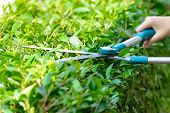 picture of grass-cutter  - Closeup hand of gardener cutting hedge with grass shears - JPG