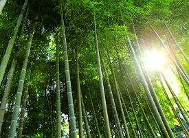 picture of bamboo  - Bamboo forest with sunlight - JPG