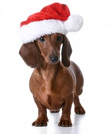 stock photo of puppy christmas  - christmas puppy  - JPG