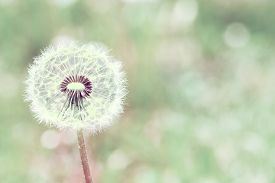 pic of dandelion seed  - close up of Dandelion with abstract color and shallow focus - JPG