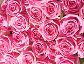 foto of pink roses  - big bunch of multiple pink roses of a bride - JPG