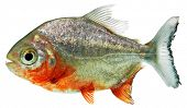 picture of piranha  - Piranha in front of a white background - JPG