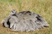 Female Emu lying on her nest