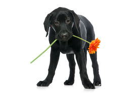 foto of funny animals  - Puppy Labrador retriever holding a flower  in its mouth - JPG