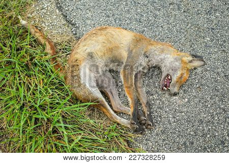 A Dead Fox Lying On
