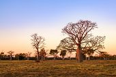 Boab (aka Baobab Tree) Trees At Sunset In The Kimberley Town Of Derby, Western Australia, Australia. poster