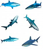 Sharks on white background. Caribbean Reef Shark isolated. Collection of shark cutouts poster