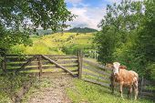 Cow At A Rustic Gate In Summer Nature - Cute Cow Waiting In Front Of An Aged Wooden Gate And Fence,  poster