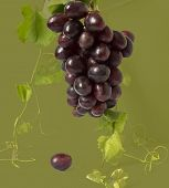 Healthy Fruits Red And White Wine Grapes In The Vineyard Dark Grapes/ Blue Grapes/wine Grapes Bunch  poster