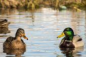 Female Wild Mallard Duck And A Drake Swim In A Pond (anas Platyrhynchos) poster