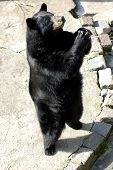 Black Bear In Zoo.