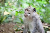 Monkey Sitting In The Forest Of Monkeys.close Up. Portrait Of A Monkey. poster