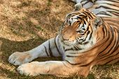 Portrait Of Adult Tigress. Wild Animal In The Nature poster
