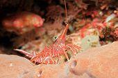 Camel Shrimp, Hinge-beak Shrimp, Hingebeak Prawn, Durban Dancing Shrimp, Rhynchocinetes Durbanensis, poster