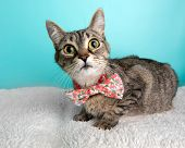 Brown Tabby Cat Portrait In Studio And Wearing A Bow Tie poster