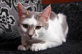 A Cute White And Tabby Cat At Home. poster