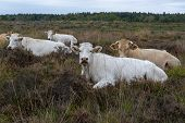 Herd Of Beige Cows And Bulls Resting On Moorland In Kempen Forest, Brabant, Netherlands poster