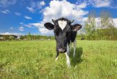 Animal Big Snout. The Portrait Of Cow With Big Snout On The Background Of Green Field. Farm Animal.  poster