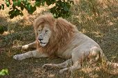 Big Male Lion Lying On The Grass. Lion Resting In The Shade. Scarred Lion Face. Wild Animal In The N poster