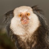 foto of marmosets  - One Tufted - JPG