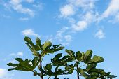 Large Green Palms Of Chestnut Leaves Stretch Towards The Blue Sky With White Clouds, As If In Prayer poster