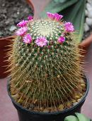 foto of peyote  - an exotic flower - JPG