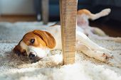 Beagle Dog Tired Lying Down Under A Table On The Carpet Floor. Adorable Canine Background poster