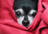 image of nostril  - a cute  chihuahua in  a blanket looking at the camera - JPG