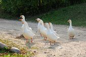 Gaggle Of White Domestic Geese poster