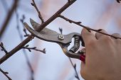 stock photo of horticulture  - Pruning an fruit tree  - JPG