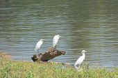stock photo of kali  - Three migratory white egrets in the fishing zone of Kali River in  Sahyadri ranges in India - JPG