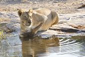 picture of lioness  - Lioness drinking water from a stream in Botswana - JPG