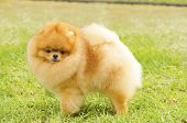 picture of miniature pomeranian spitz puppy  - A side view of a small young beautiful fluffy orange pomeranian puppy dog standing on the grass - JPG