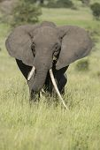 image of tusks  - Female African Elephant with long tusk  - JPG
