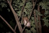 stock photo of screech-owl  - Eastern Screech Owl perched in a tree at night