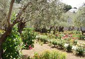stock photo of gethsemane  - garden of gethsemane jerusalem taken in april 2006  - JPG