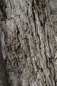 image of stomp  - Old olive tree from Italy - JPG