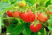foto of strawberry plant  - Strawberry bush growing in the garden - JPG