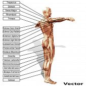 image of triceps brachii  - Vector 3D male or human anatomy - JPG