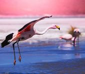 stock photo of swarm  - flamingo in Bolivia - JPG