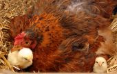 picture of hatcher  - Mother broody hen and newly hatched chickens - JPG