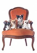 stock photo of chihuahua  - chihuahuas on an antique chair in front of white background - JPG