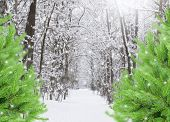 snowed forest with evergreen trees
