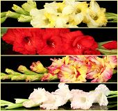 image of gladiolus  - Collage of beautiful gladiolus on black background - JPG