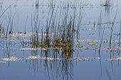 stock photo of marsh grass  - Marsh Grass in Summer Lake near Lakeview Oregon - JPG