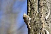picture of pecker  - Eurasian Treecreeper  - JPG