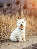 picture of westie  - Small dog breeds White Terrier walks in the autumn - JPG