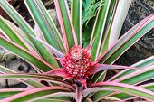 picture of bromeliad  - Pink bromeliad flower in bloom in springtime  - JPG