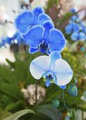 stock photo of photosynthesis  - Beautiful Blue Phalaenopsis Orchid during Flower Show - JPG